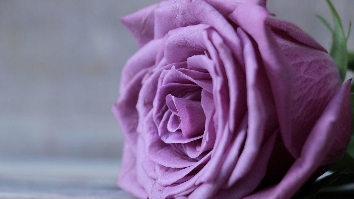 Une rose naturelle et éternelle, un paradoxe désormais possible