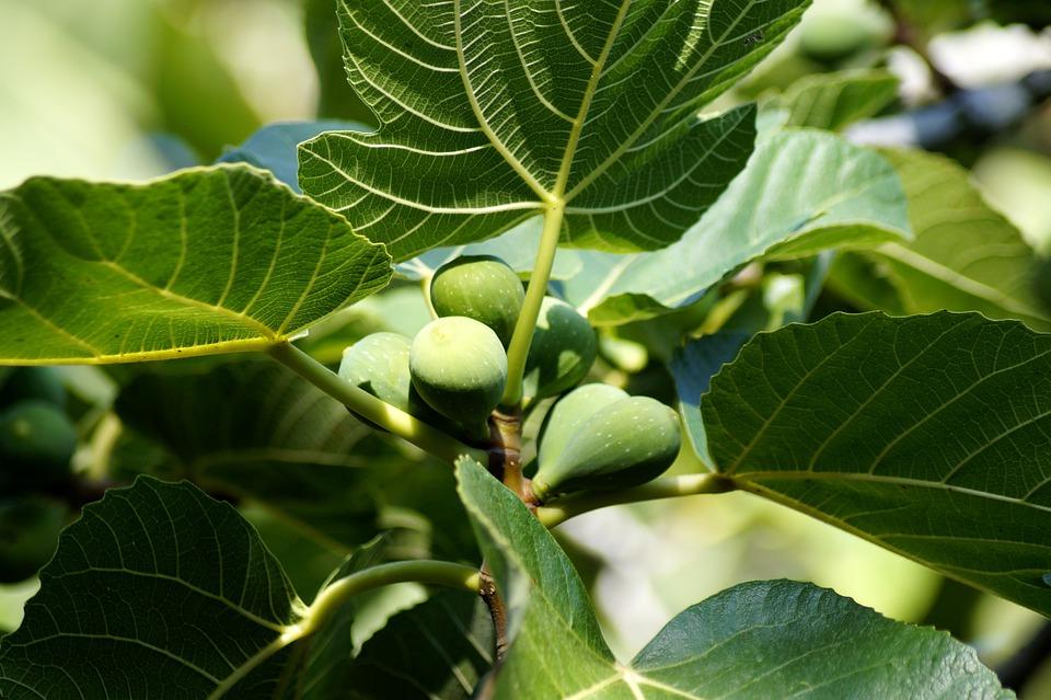 Comment savoir que les figues sont mûres ? Bienfaits des figues sèches