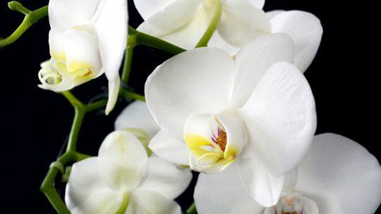 Astuces pour réussir à prendre soin de vos orchidées.