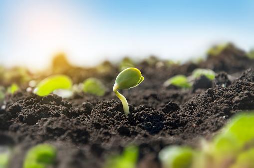 Les engrais naturels sont bons pour la plantation et pour assurer une bonne nutrition des plantes